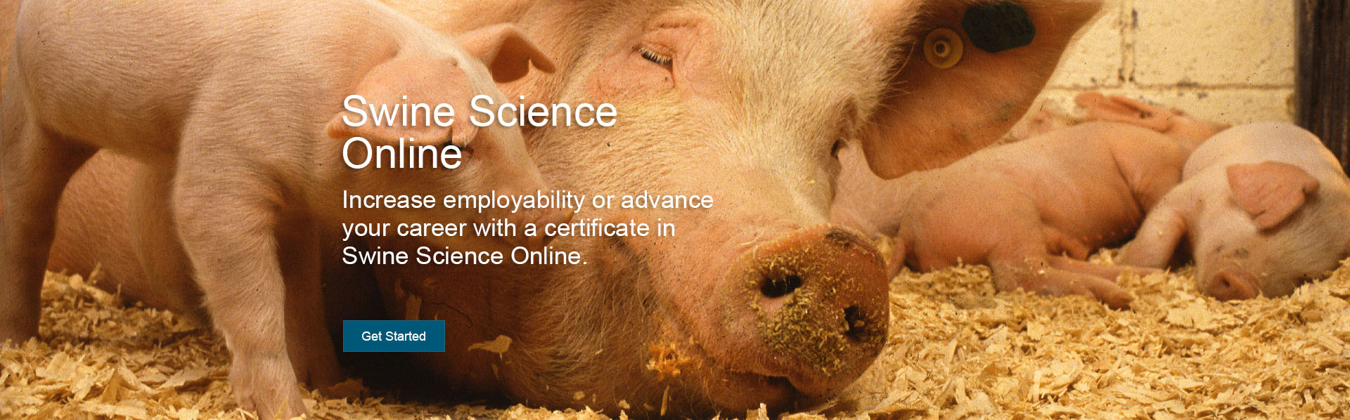 A mama pig rests on a floor of wood chips surrounded by piglets. Increase your employability with this online undergraduate certificate in swine science that is a partnership with the US Pork Center for Excellence.