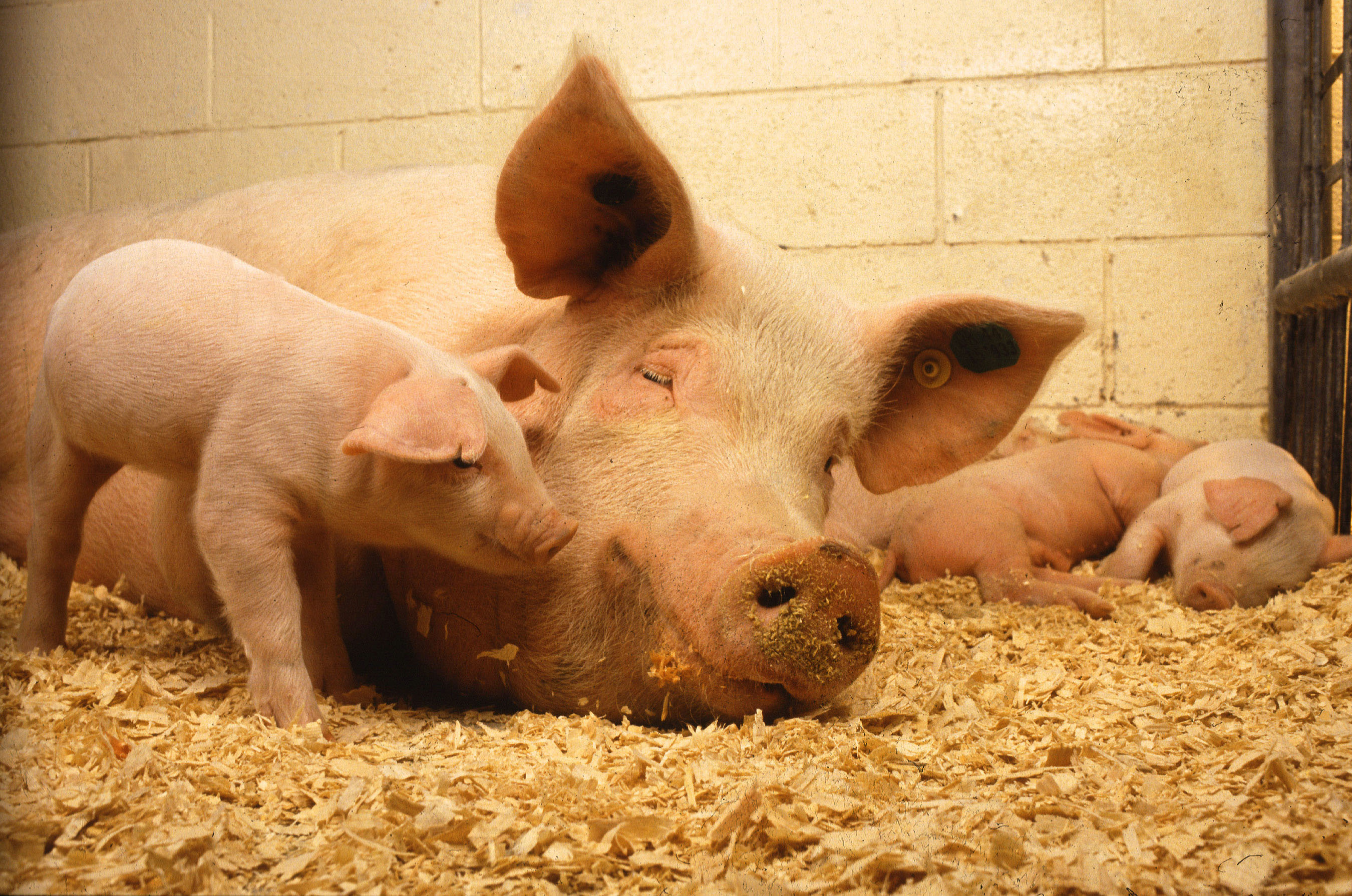 Swine-Science-Online_Mama-and-piglets